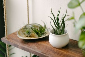 air plant in pottery bowl on wooden shelf