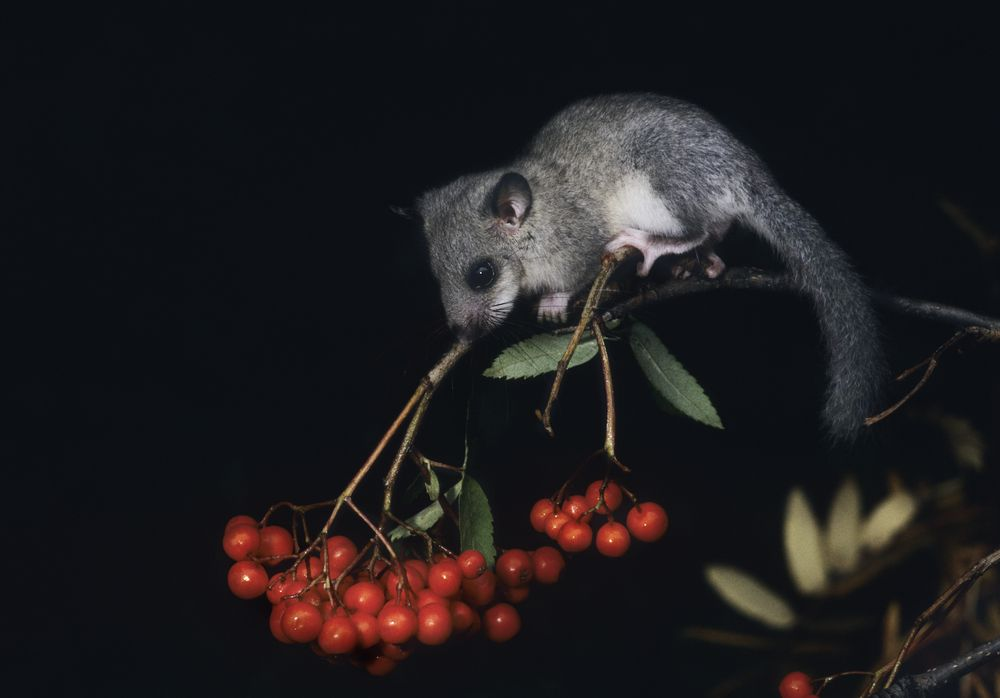 small dormouse perched on berry branch