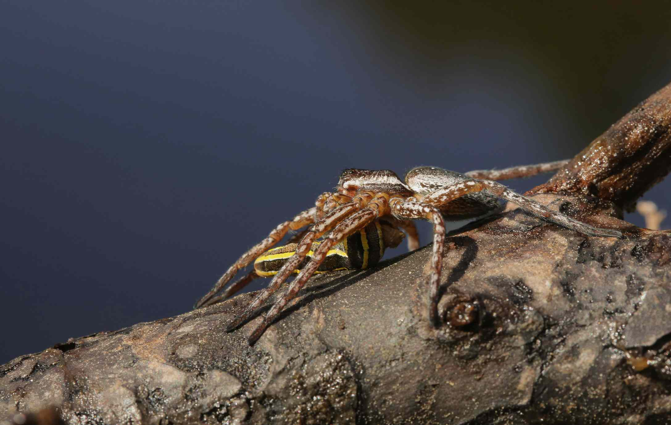 A fen raft spider on a tree trunk with a caterpillar