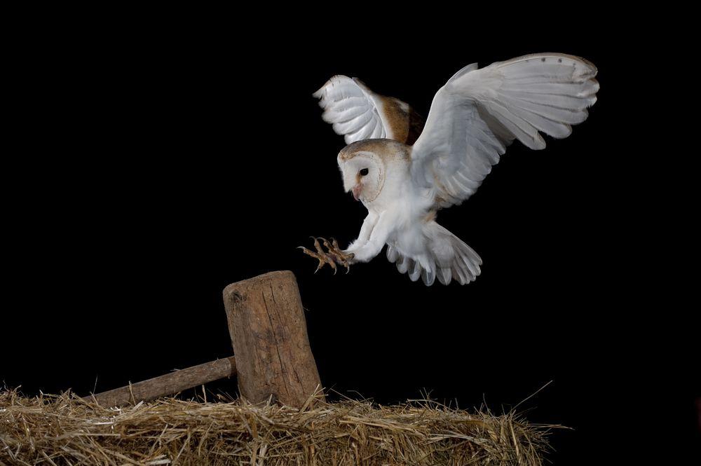 flying white barn owl landing on fence post