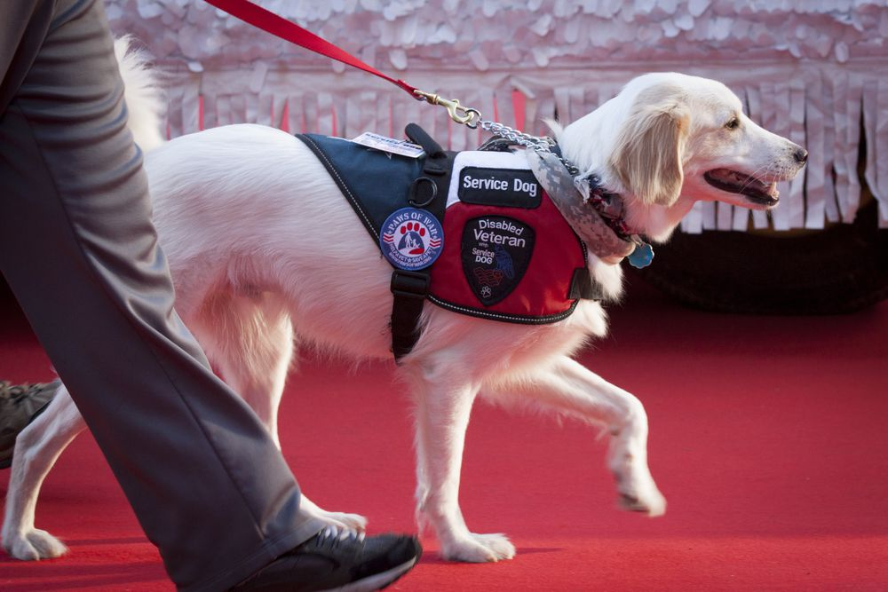 White service dog walking next to its handler on a red carpet.