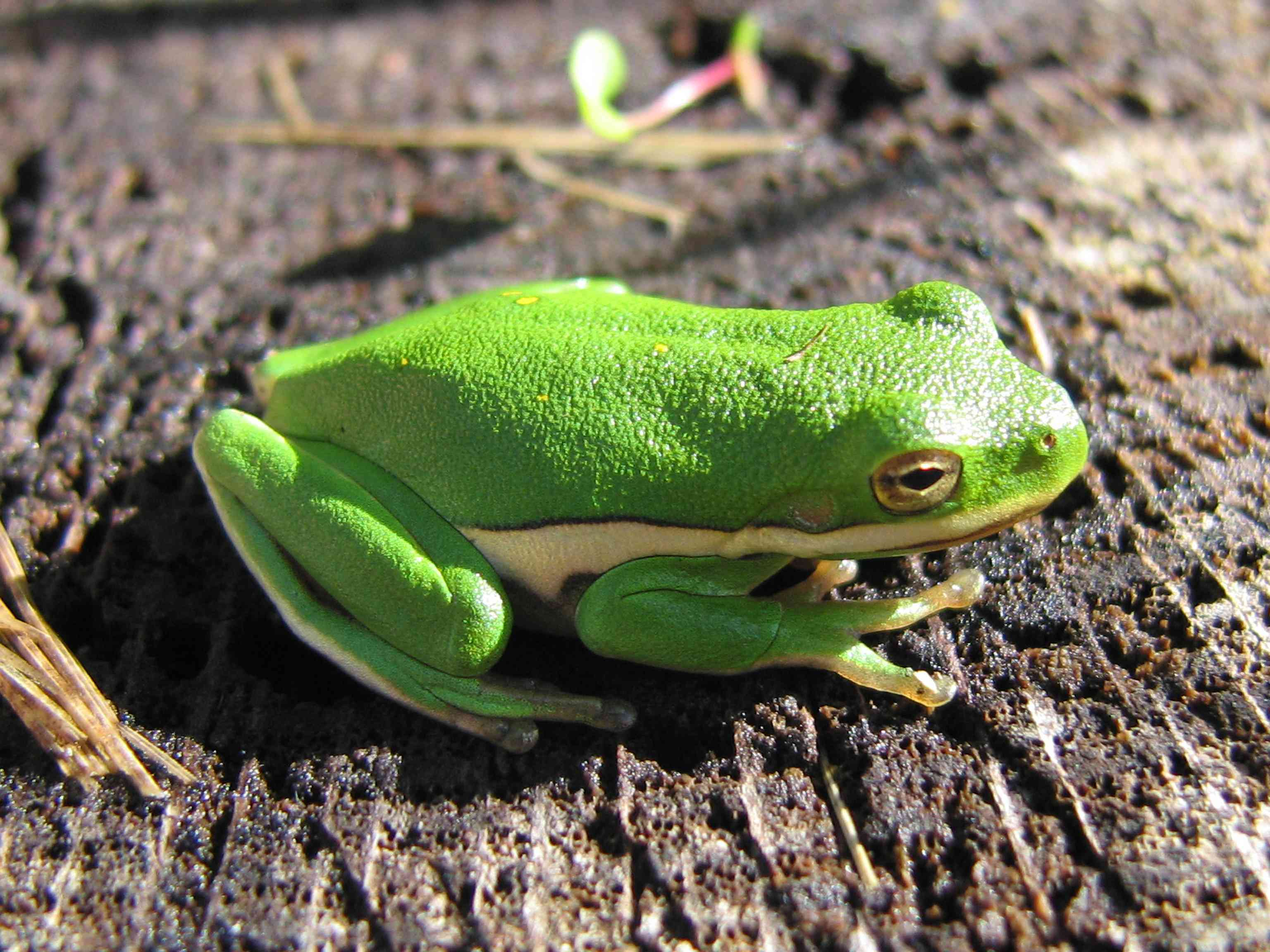 An American green tree frog perched in sunlight in Illinois