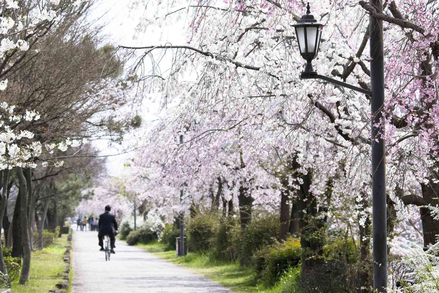 Cherry blossoms in full bloom as a man rides his bike