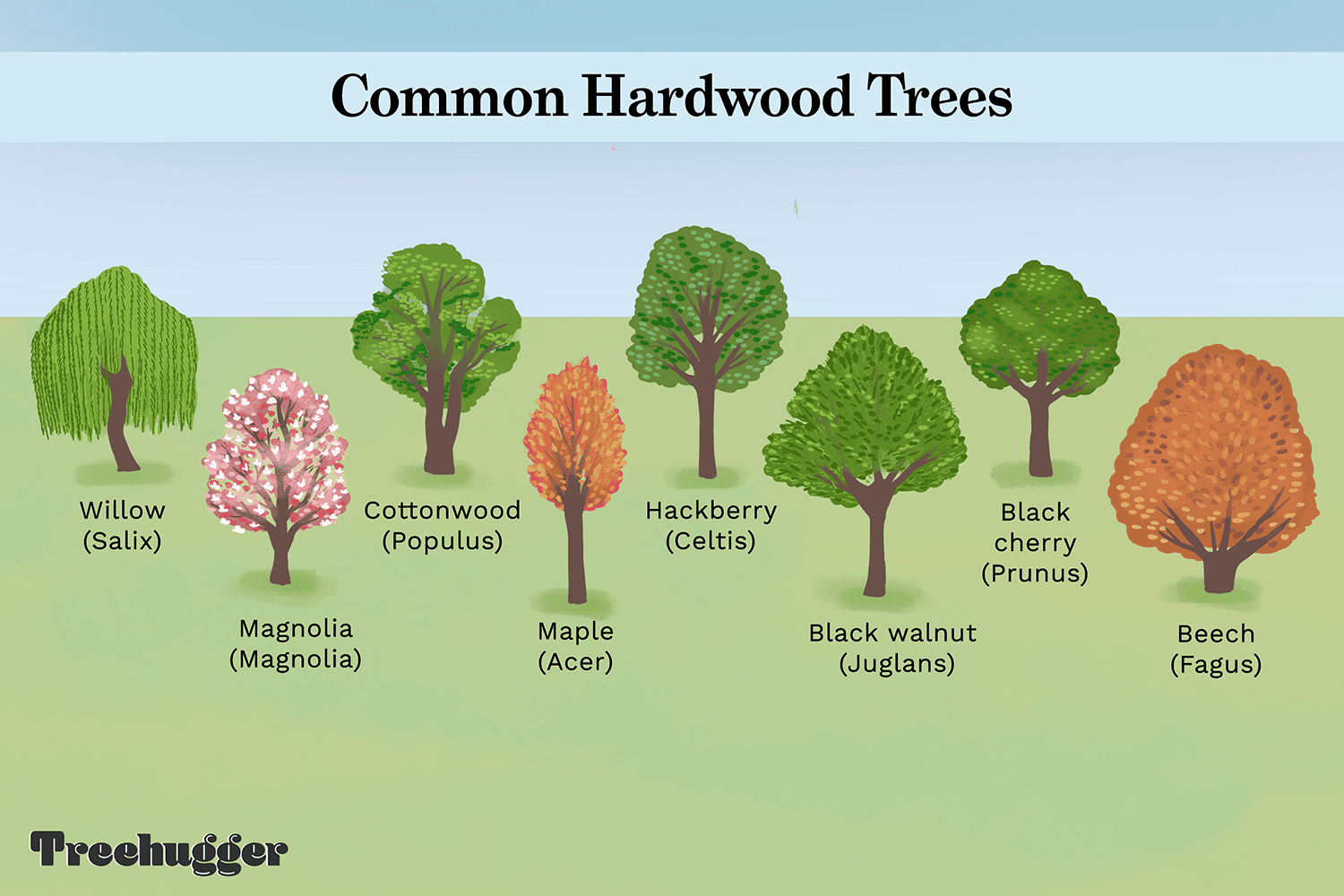 common north american hardwood trees include willow and magnolia illustration