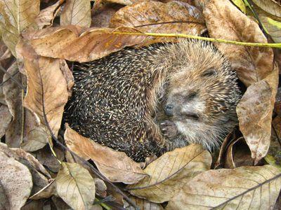 A hedgehog sleeping in fall leaves.