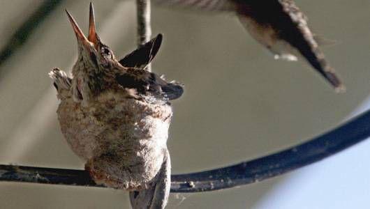 black-chinned hummingbird nest on an electrical conduit.