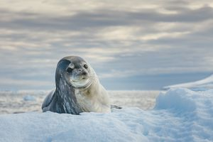Weddell Seal resting on ice