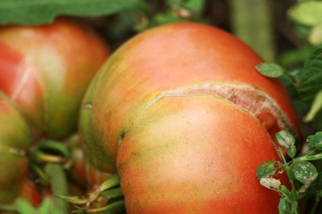 split tomato