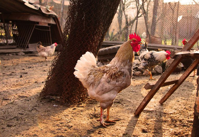 Chickens in a yard near a coop