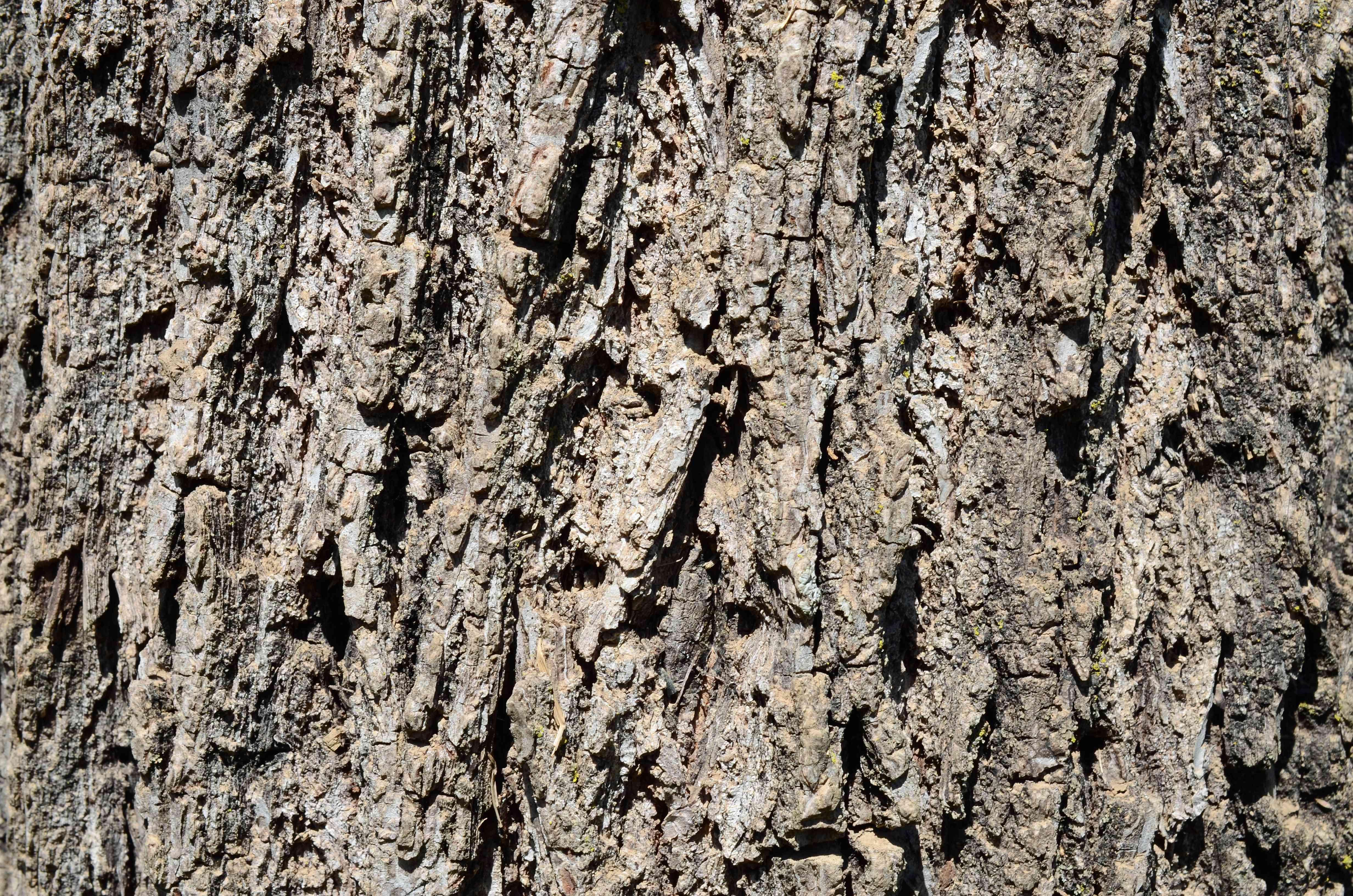 Close up of the bark of a black walnut tree