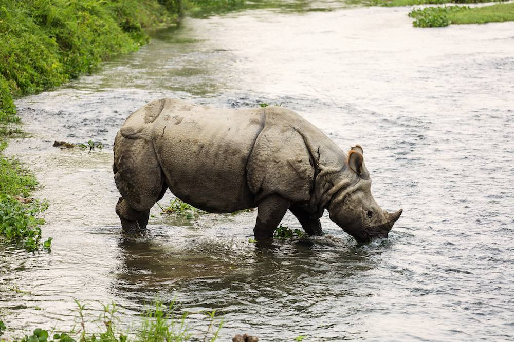 Rhinos in Nepal stands in shallow river