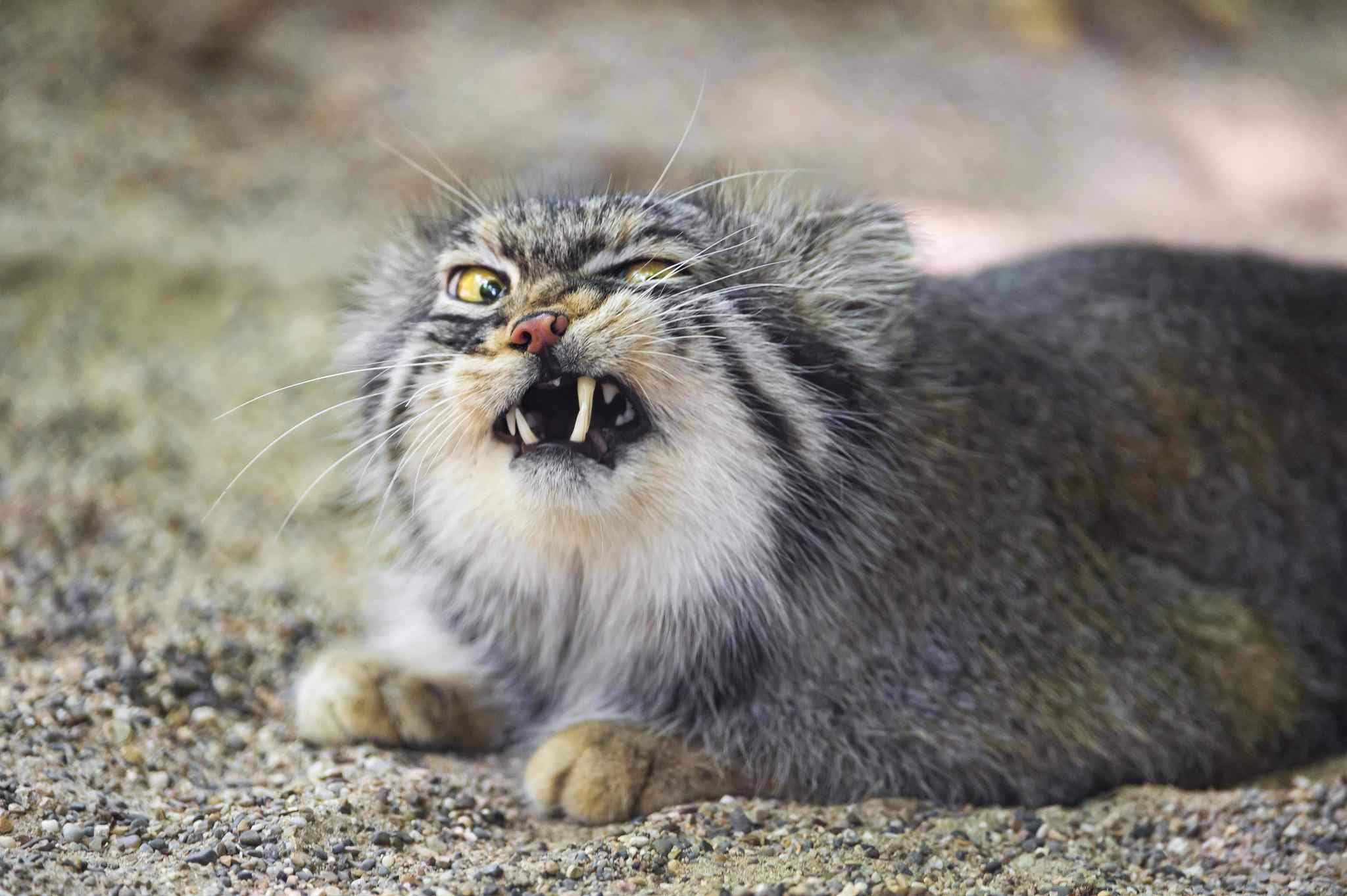 expressive Pallas cat