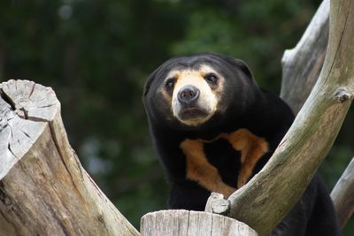 Close up of a sun bear in Asia