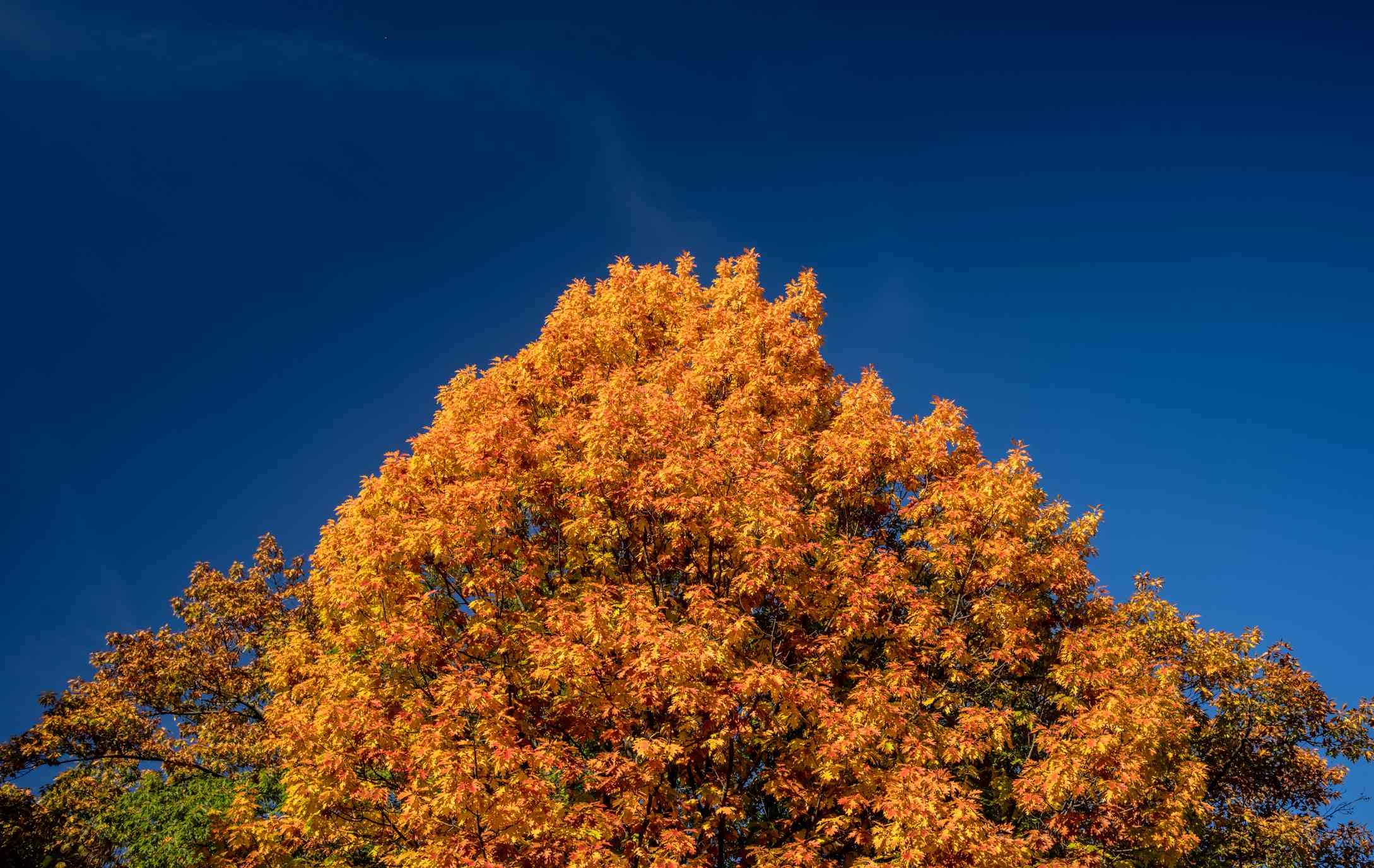 A Pin Oak canopy against a clear blue sky.