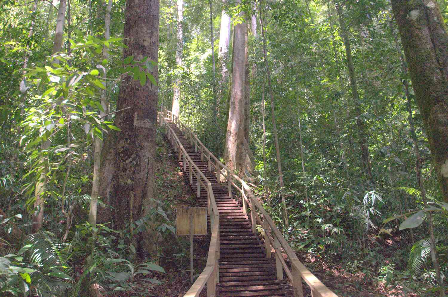 A boardwalk staircase ascends into the canopy of a tropical rainforest in Brunei