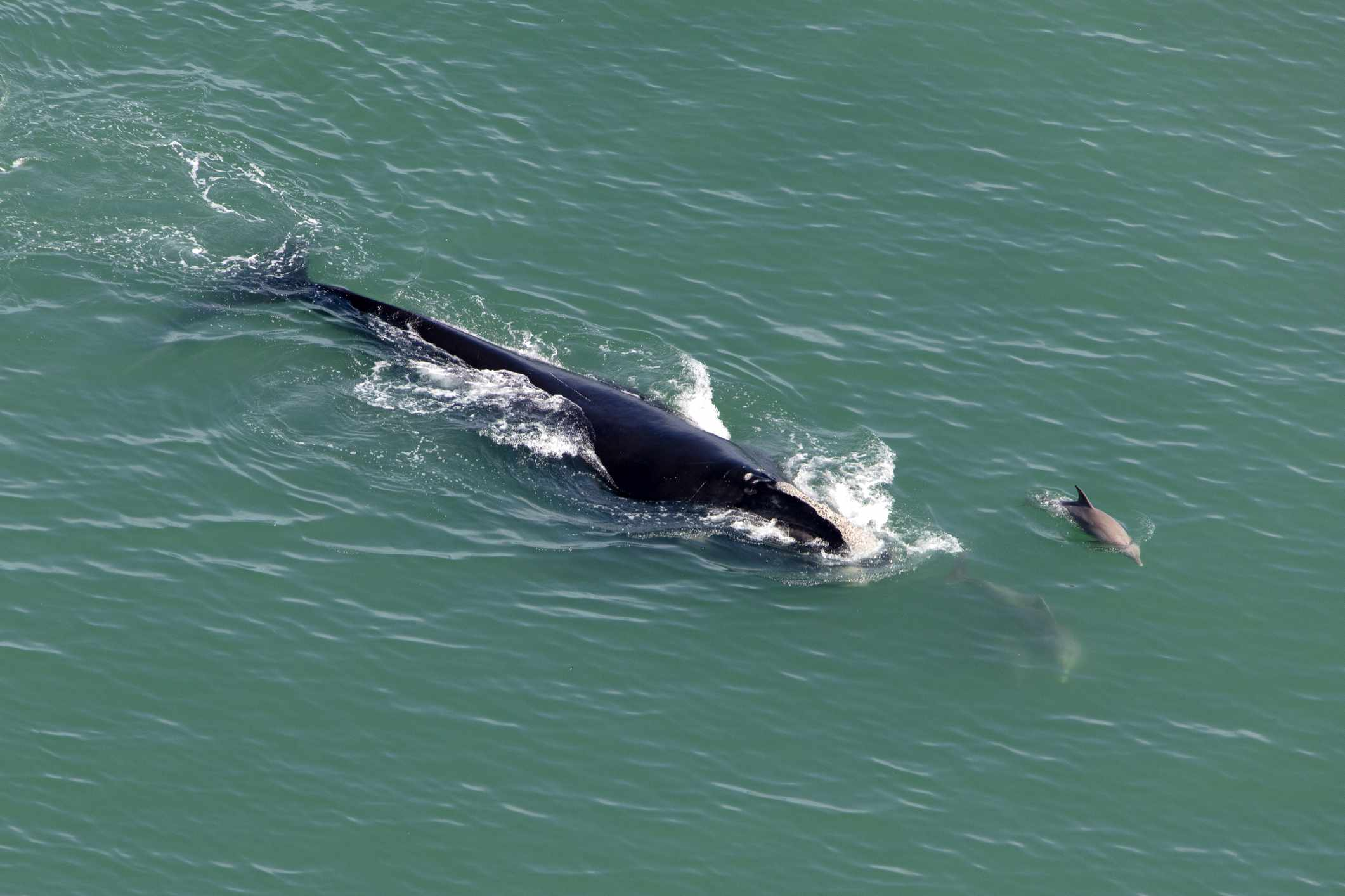 North Atlantic right whale surfacing the ocean surrounded by porpoises