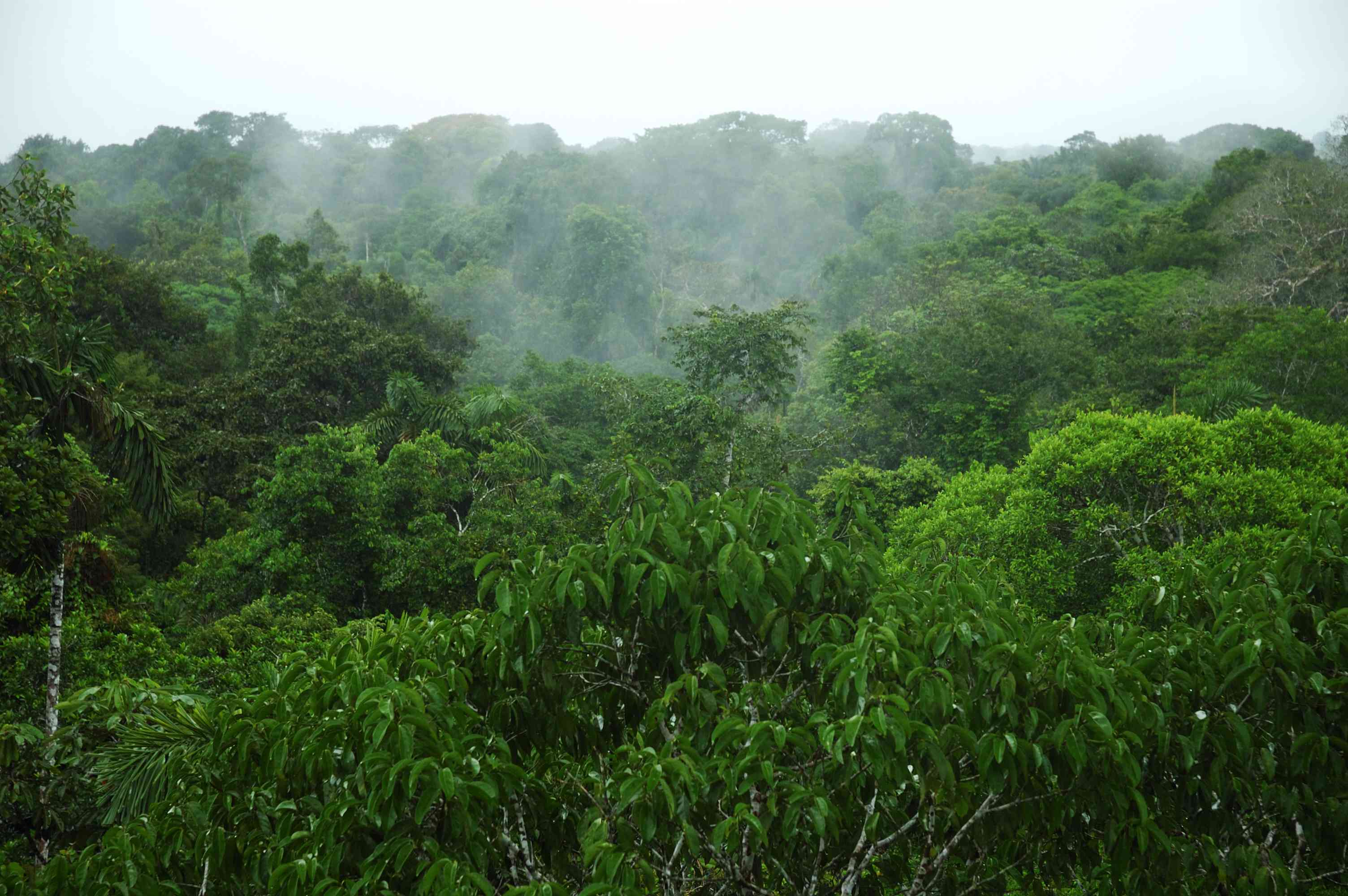 tree canopy in the Amazon