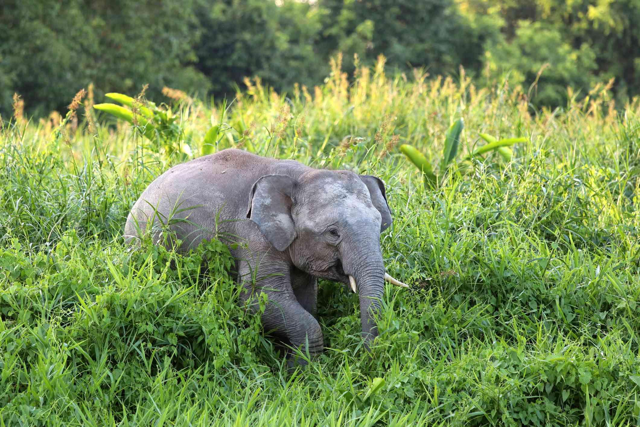 small gray borneo pygmy elephant wanders through tall grass