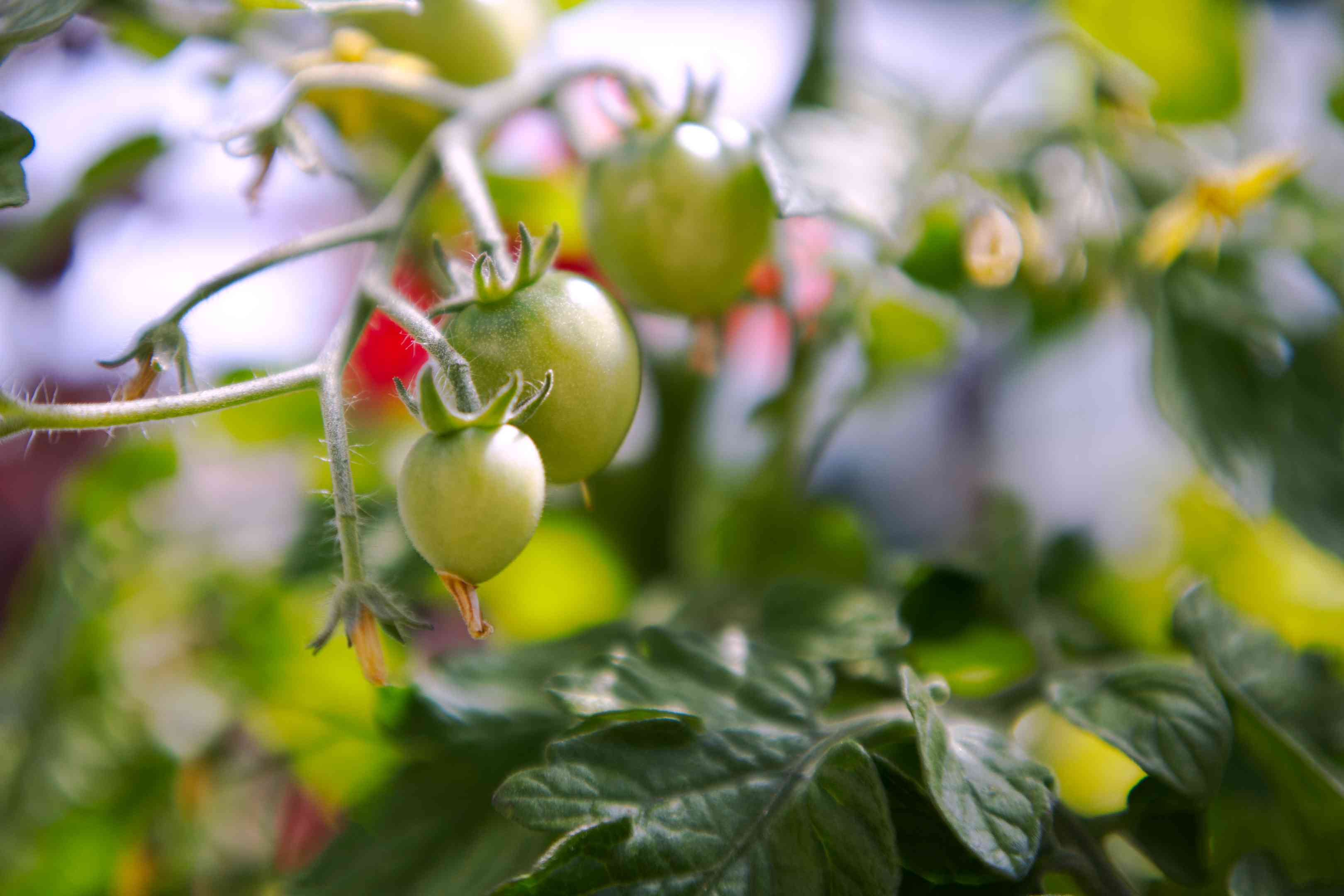 close view of green tomatoes ripening on vine in small garden