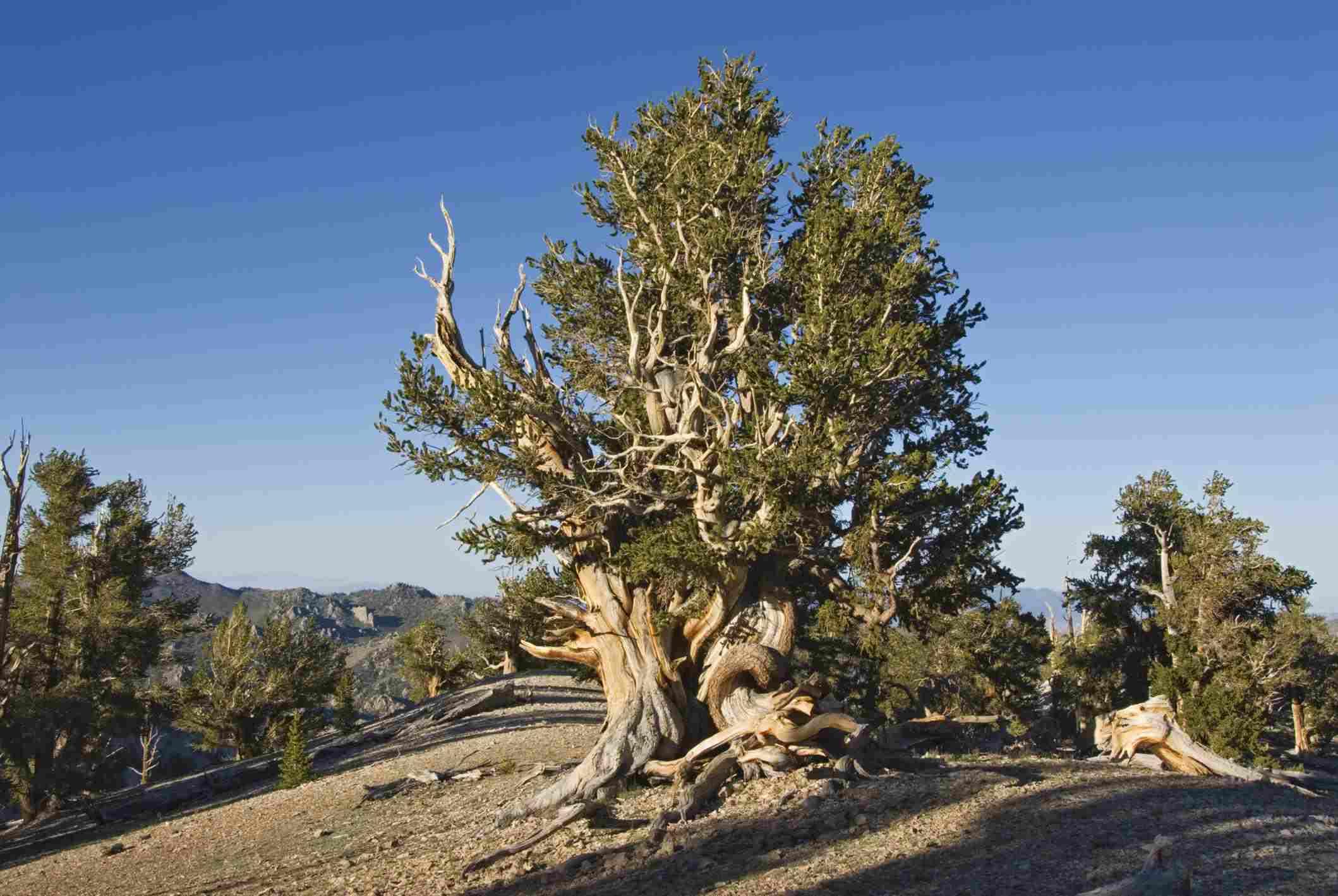 Ancient Bristlecone Pine Forest near Patriarch Grove
