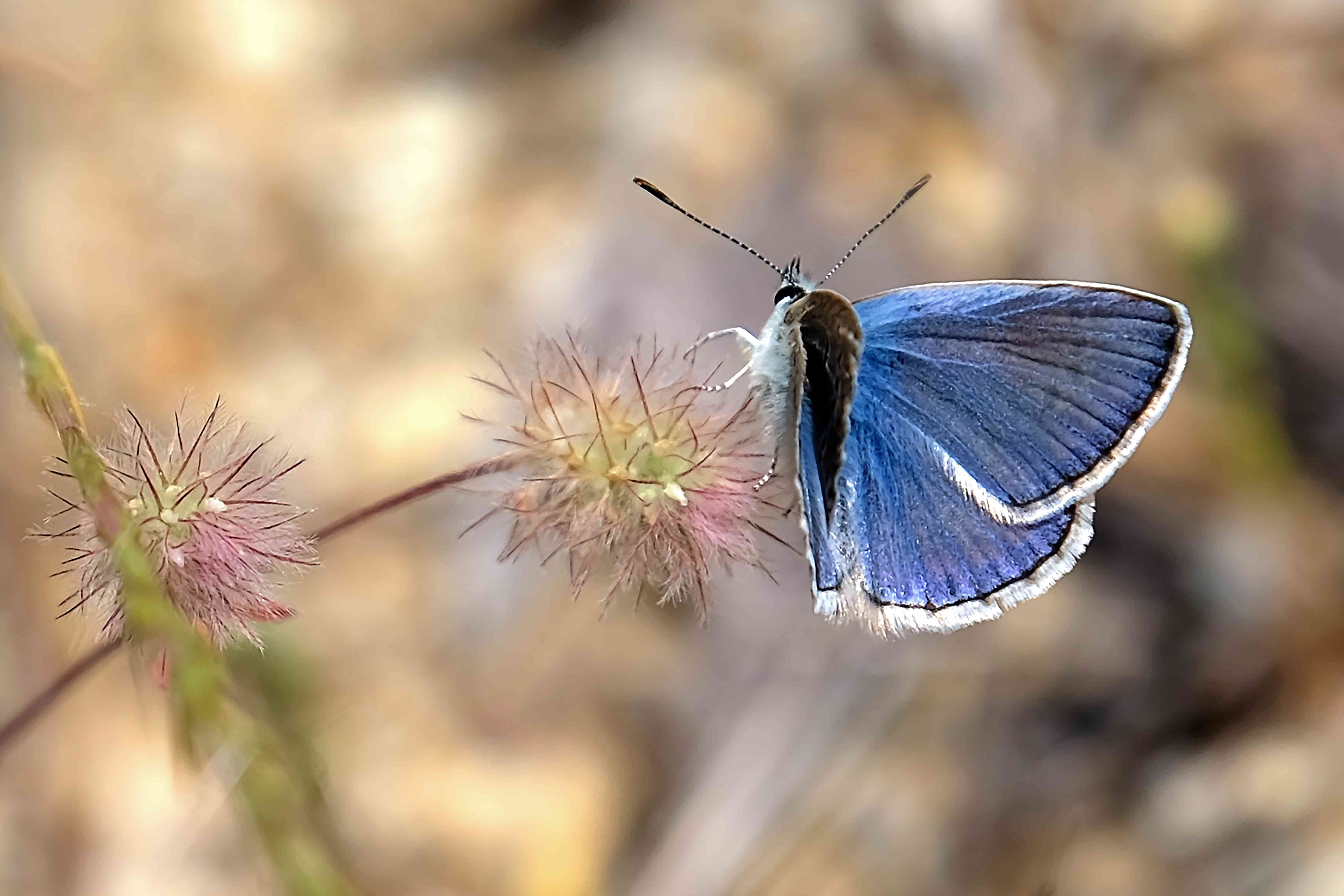 Palos Verdes Blue butterfly