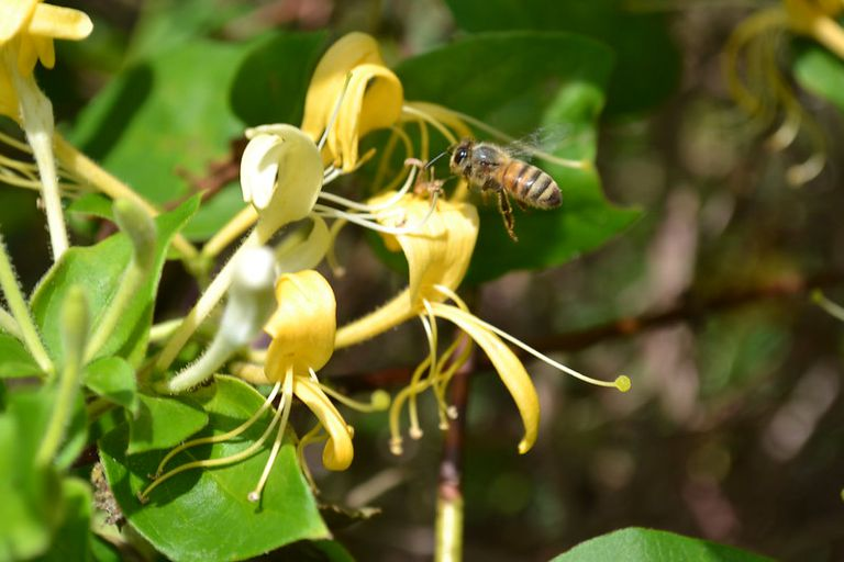 A bee pollinating a yellow honeysuckle.