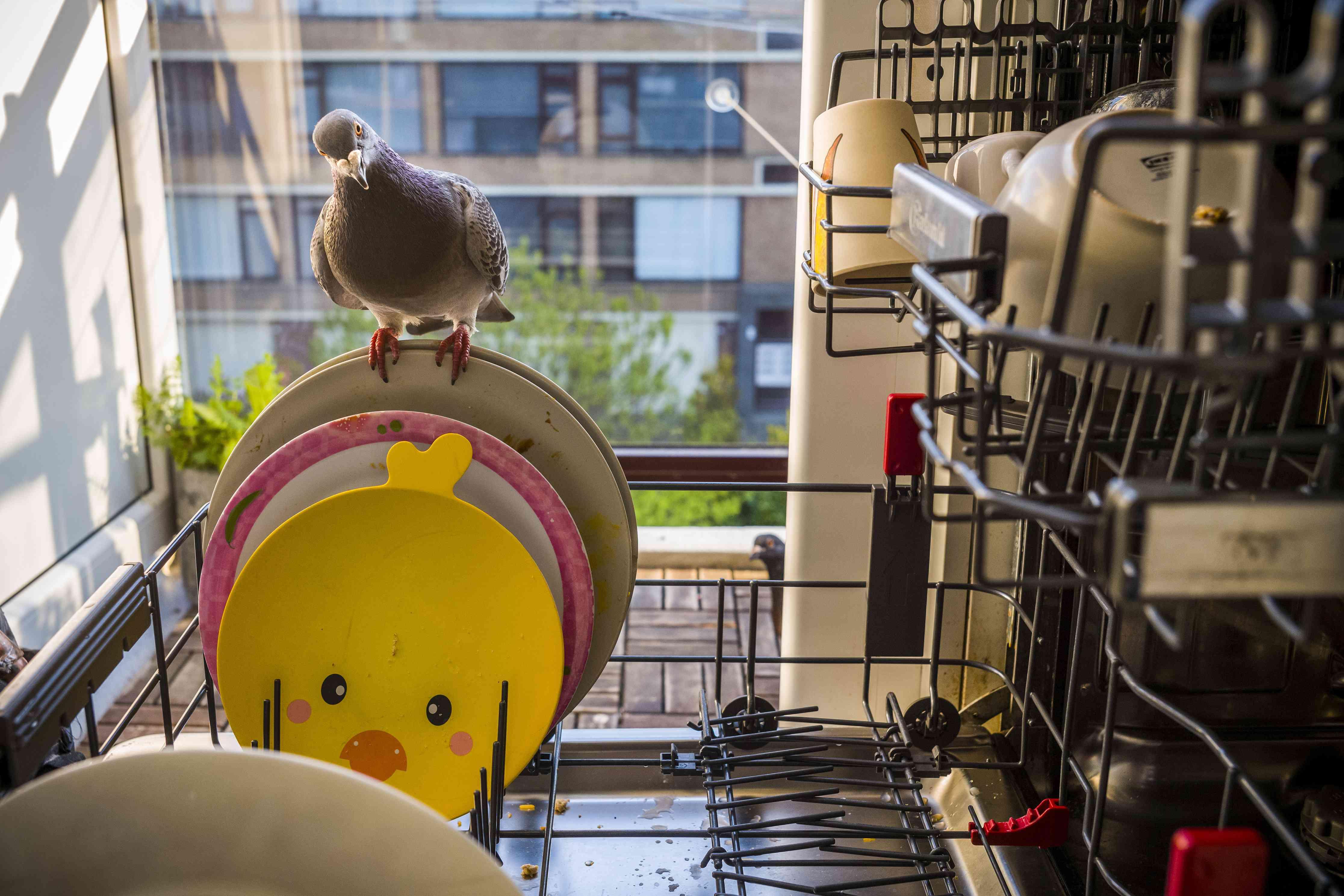 pandemic pigeons