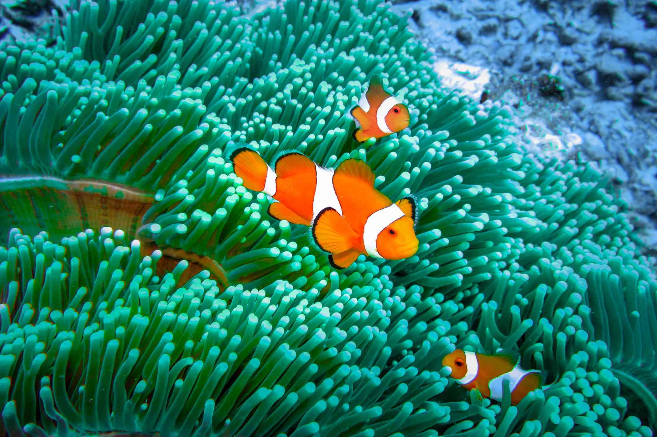 Three orange and white clownfish in a sea of green anemone.