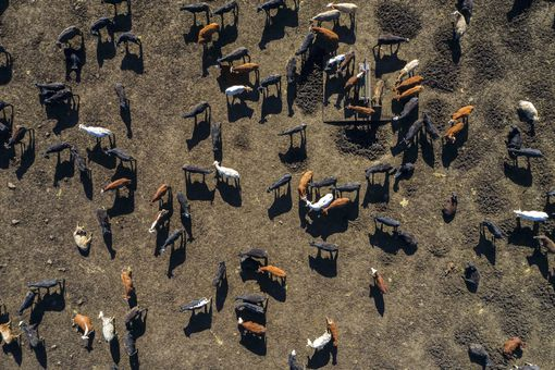 cattle feedlot from above