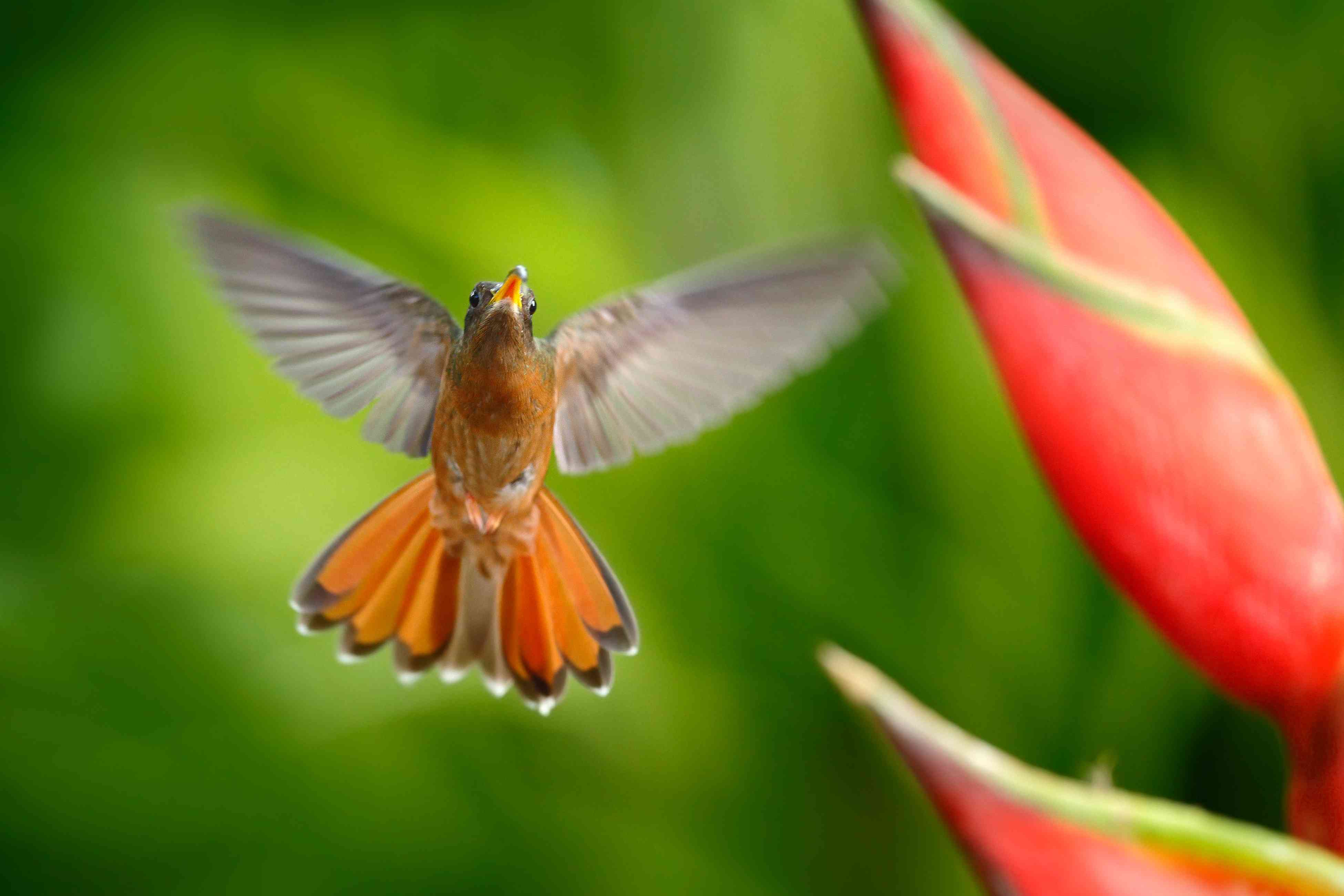 Flying roufous-breasted hummingbird with red flower in foreground