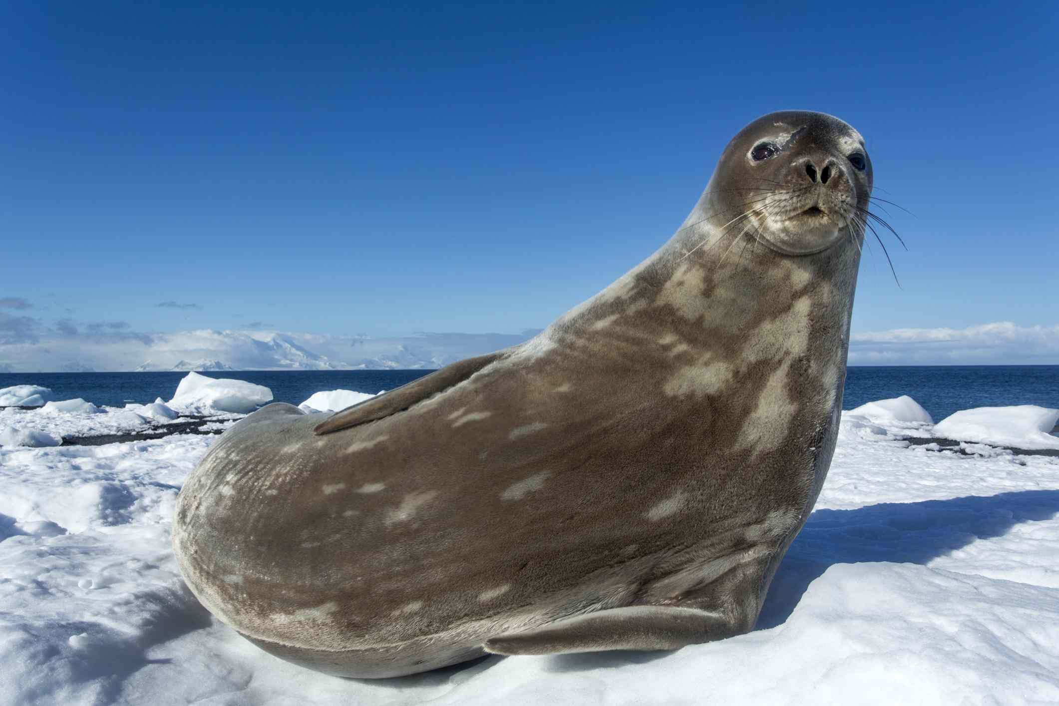 Weddell seal resting on snow-covered shoreline.
