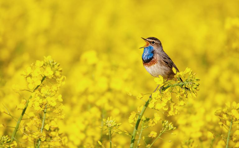 Bluthroat bird sits with its mouth open on top of a yellow rapeseed plant surrounded by yellow flowers