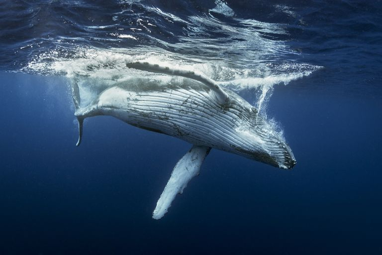 Humpback whale under water after surfacing