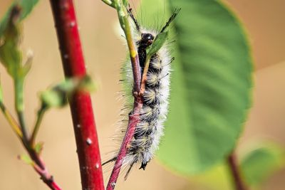 White hickory tussock caterpillar