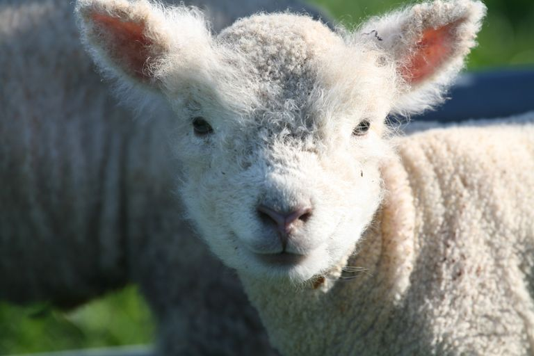 white babydoll sheep