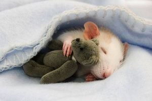 A cat curled up in a blanket with a tiny teddy bear