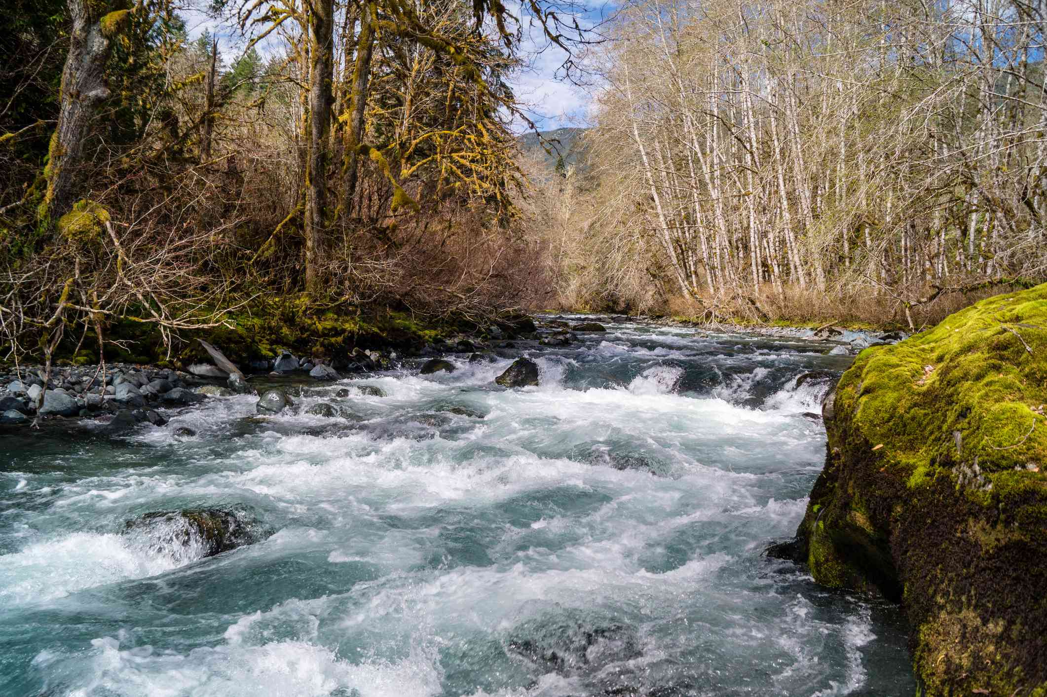 White water rapids on the Dosewallips River in Washington on the Olympic Peninsula surrounded by brown trees and a large, moss covered rock