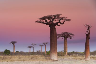 Baobab trees against a pink sky