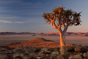 A lone quiver tree watches the sun sets on the Garub plains of the Southern Namib desert.