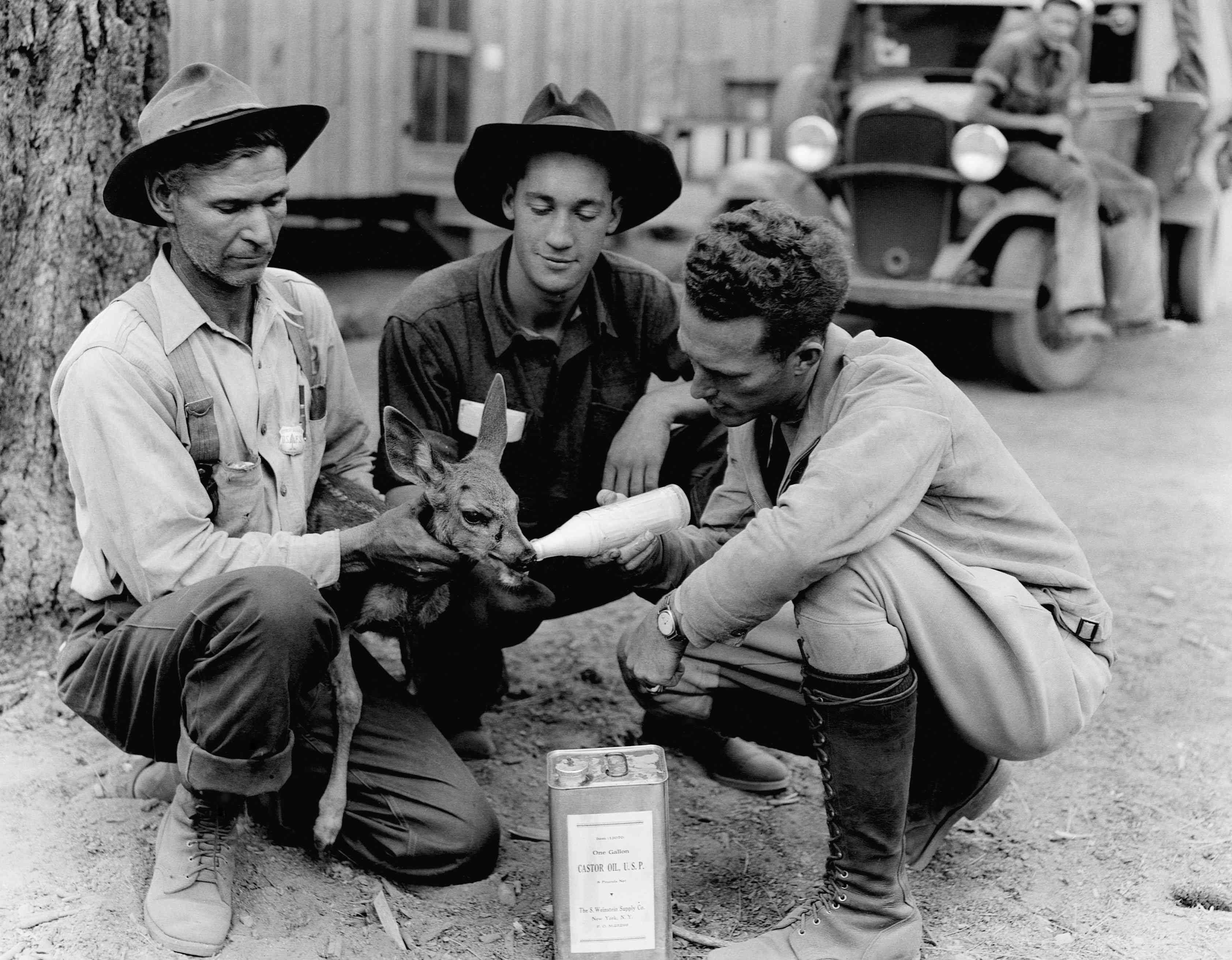 Three men in a Civilian Conservation Corps camp feed a fawn in Big Spring Camp, California.