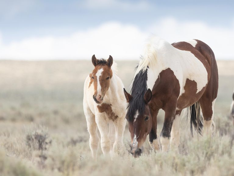 mare and foal spotted horses graze in open pasture with big blue sky
