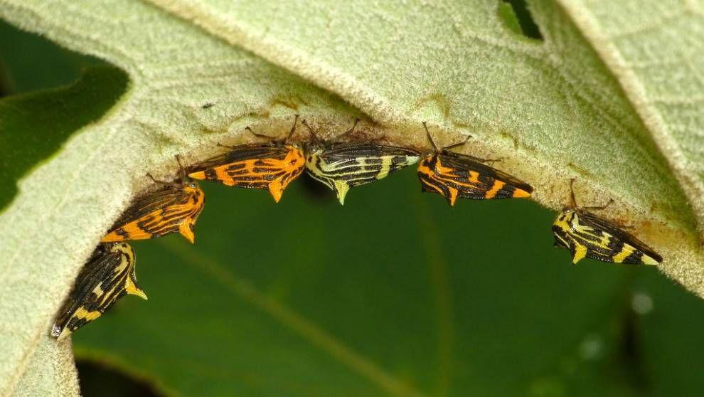This treehopper has a thorny head