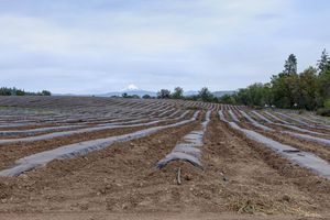 long shot of farming field rows covered in tarp with mountain in distance