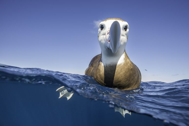 Over and underwater view of a brown headed albatross resting on the water's surface and taking a very keen interest in the photographer, North Island, New Zealand.