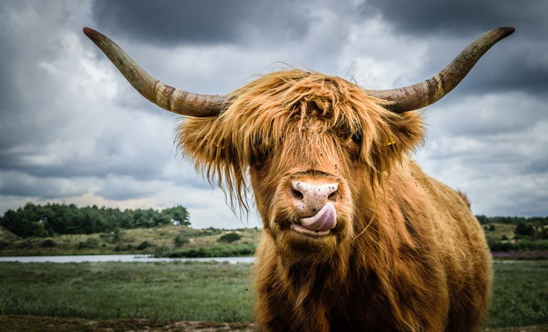 shaggy brown Highland cow licks nose out in field