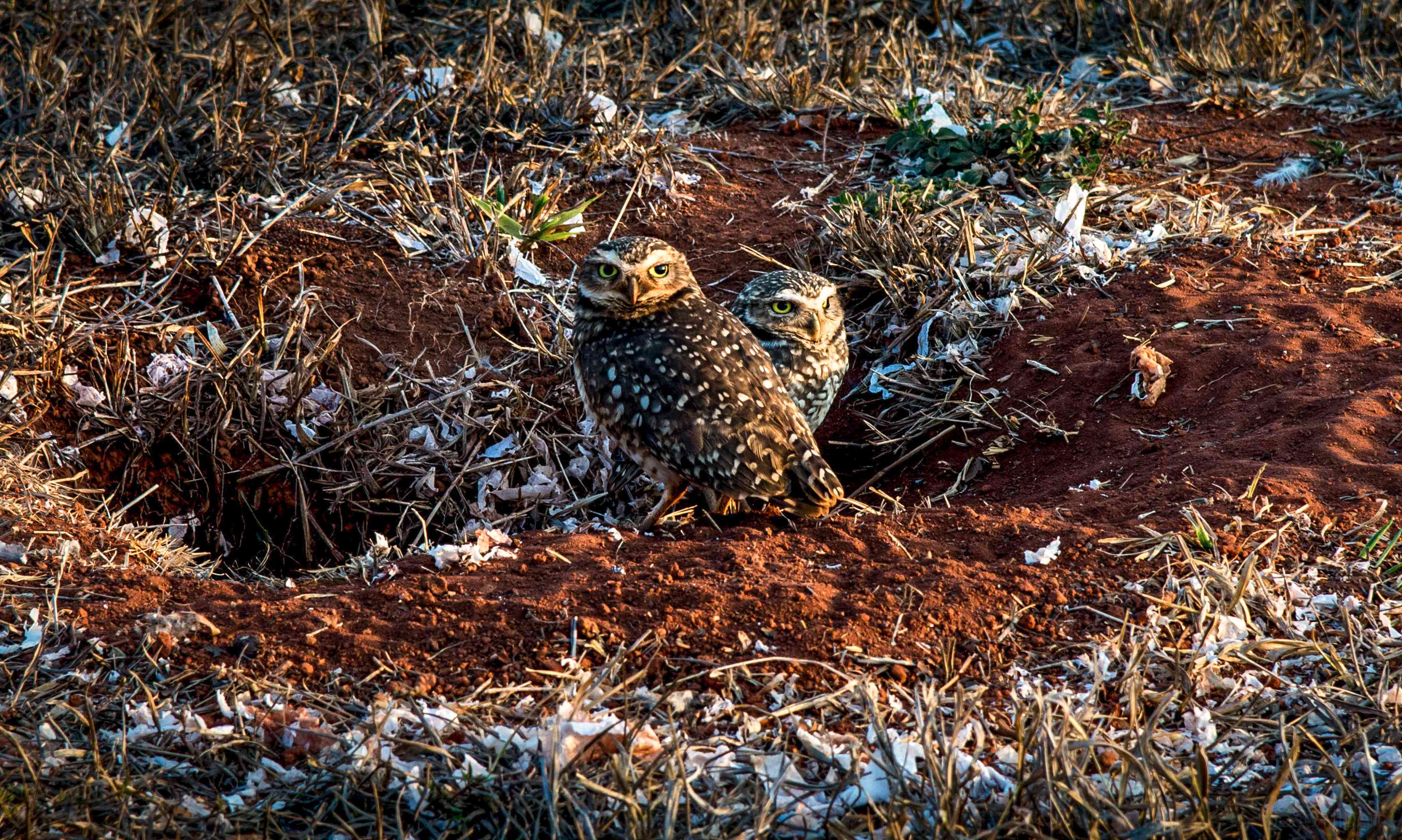 Two burrowing owls with
