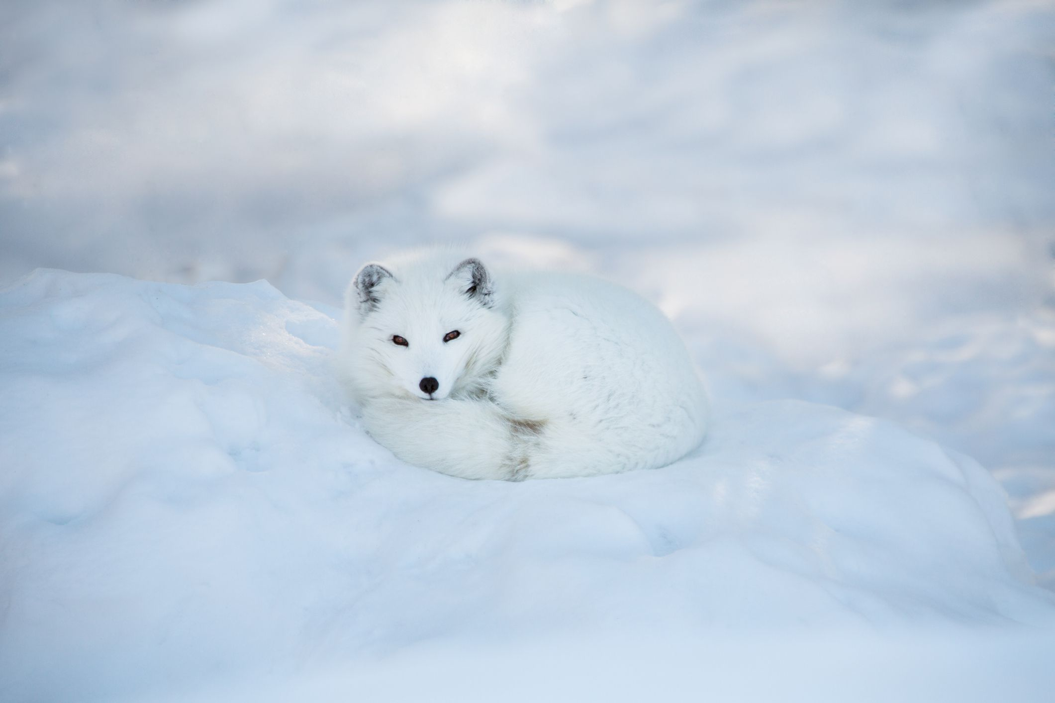 bright white arctic fox curls up on bed of white snow