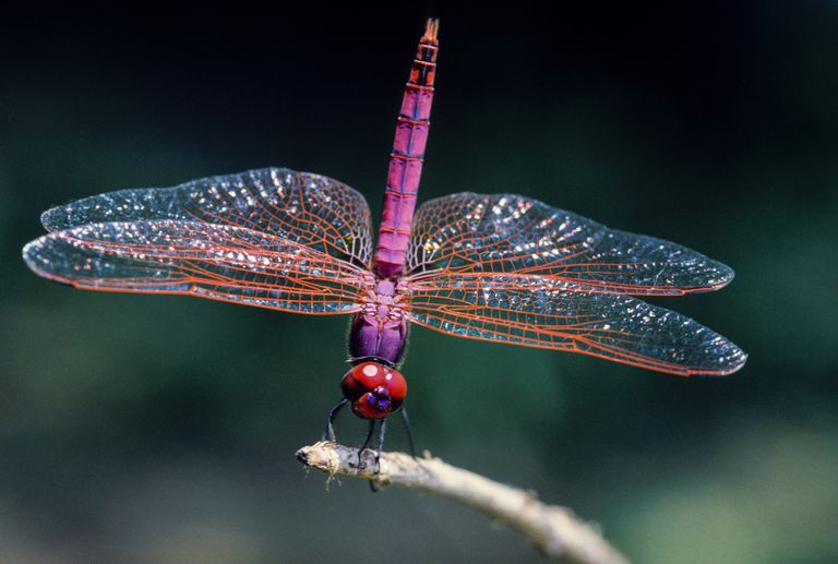 A Dragonfly perched on a twig