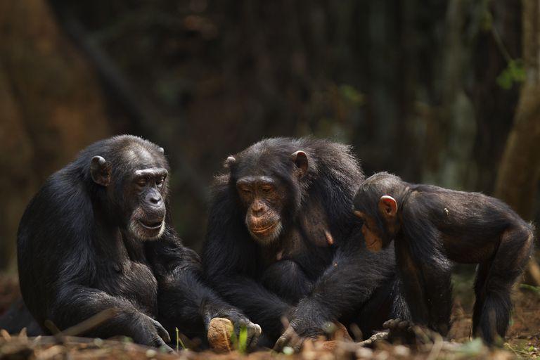Western chimpanzee femalesusing rocks as tools