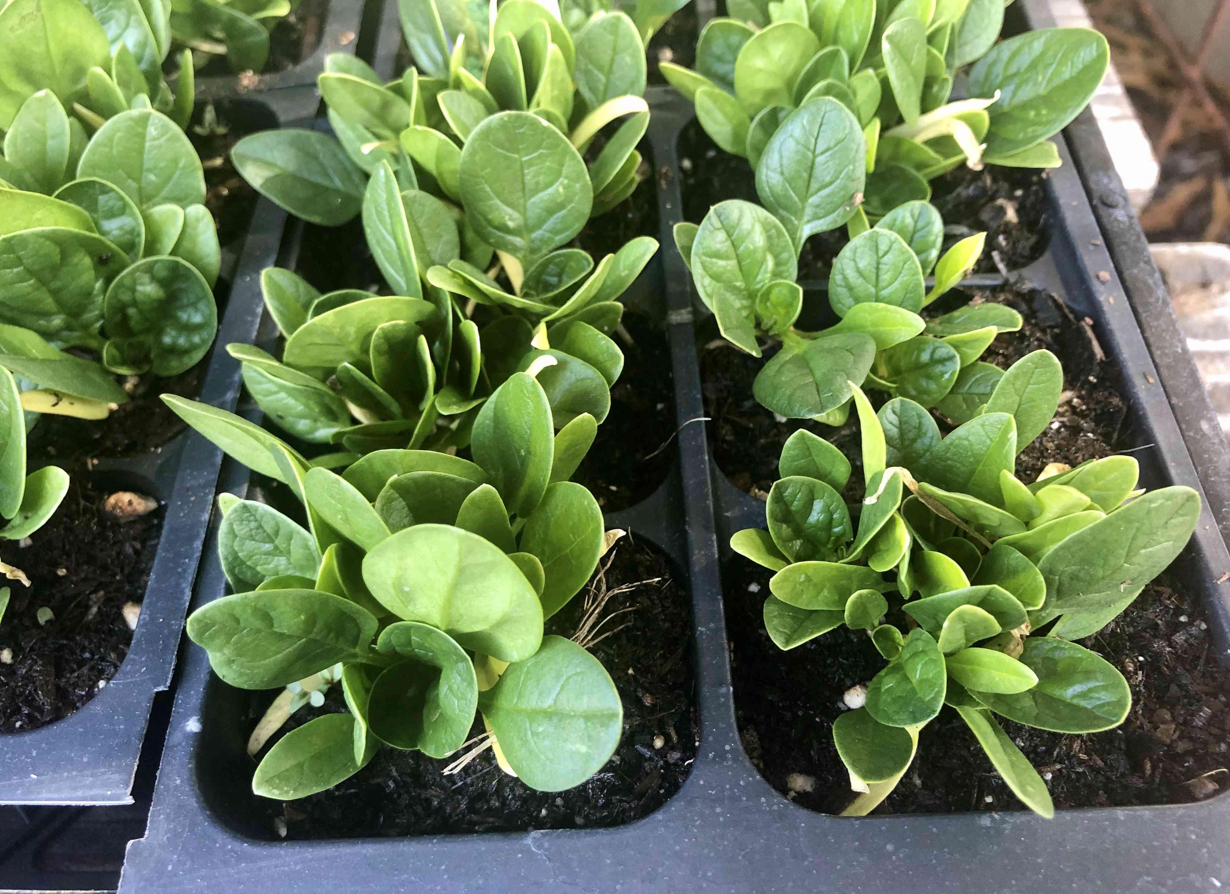 Spinach heads